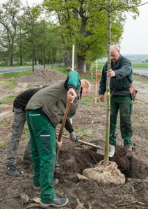 Forstwirt Heinz Mense (r.) pflanzt mit zwei Helfern eine junge Eiche an der Fürstenallee. ©Foto: Landesverband Lippe/Ihle