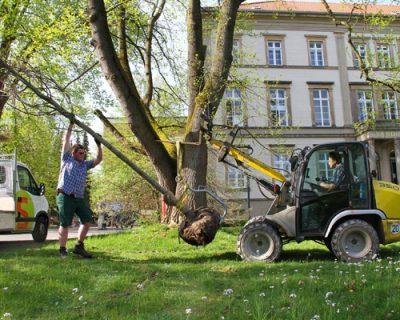Roteiche und Linde erfreuen künftig Bibliotheksnutzer in Detmold