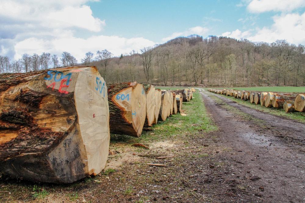 Wertholzstämme der Forstabteilung des Landesverbandes Lippe.